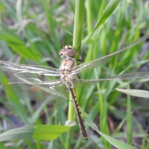 Hemicordulia tau at Jerrabomberra Wetlands - 16 Oct 2016