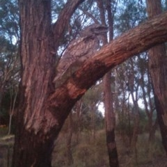 Podargus strigoides (Tawny Frogmouth) at Cook, ACT - 23 Nov 2014 by Tammy