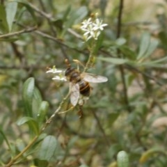 Eristalis tenax (Drone fly) at O'Connor, ACT - 2 Jan 2017 by ibaird