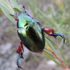 Repsimus manicatus montanus (Green Nail Beetle) at Gigerline Nature Reserve - 4 Jan 2017 by michaelb