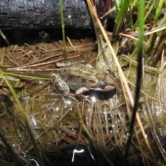 Limnodynastes tasmaniensis (Spotted Grass Frog) at Wanniassa Hill - 18 Oct 2016 by RyuCallaway