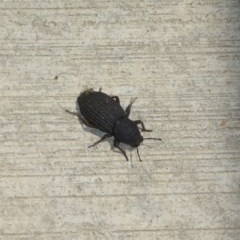 Amycterus abnormis (Ground weevil) at Molonglo River Park - 6 Jan 2017 by JanetRussell