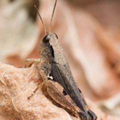 Phaulacridium vittatum (Wingless Grasshopper) at Higgins, ACT - 1 Jan 2017 by Alison Milton