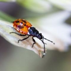 Dindymus versicolor (Harlequin bug) at Higgins, ACT - 1 Jan 2017 by Alison Milton