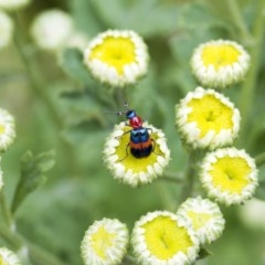 Dicranolaius bellulus (Red and Blue Pollen Beetle) at Higgins, ACT - 1 Jan 2017 by Alison Milton