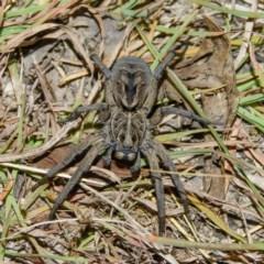 Tasmanicosa sp. (genus) (Unidentified Tasmanicosa wolf spider) at Mulligans Flat - 7 Jan 2017 by CedricBear