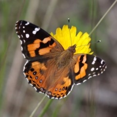 Vanessa kershawi (Australian Painted Lady) at Namadgi National Park - 7 Jan 2017 by HarveyPerkins