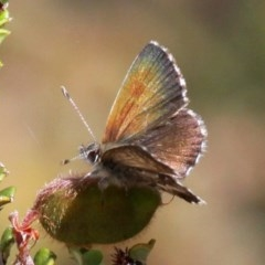 Neolucia agricola (Fringed Heath-blue) at Namadgi National Park - 7 Jan 2017 by HarveyPerkins