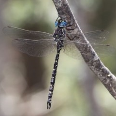 Austroaeschna multipunctata (Multi-spotted Darner) at Namadgi National Park - 7 Jan 2017 by HarveyPerkins