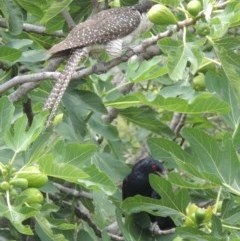 Eudynamys orientalis (Eastern Koel) at Conder, ACT - 8 Jan 2017 by michaelb