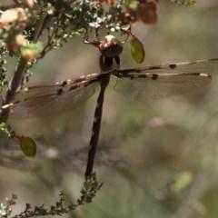 Telephlebia brevicauda (Southern Evening Darner) at Namadgi National Park - 7 Jan 2017 by HarveyPerkins