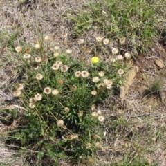 Rutidosis leiolepis at Cooma Grasslands Reserves - 3 Jan 2017