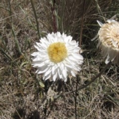 Leucochrysum albicans subsp. tricolor (Hoary Sunray) at Cooma Grasslands Reserves - 2 Jan 2017 by GeoffRobertson