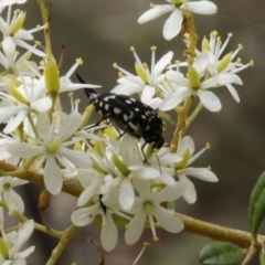 Mordella dumbrelli (Pintail or tumbling flower beetle) at ANBG - 9 Jan 2017 by ibaird