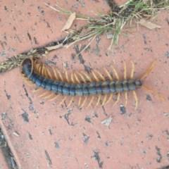 Scolopendra sp. (genus) (Centipede) at Ngunnawal, ACT - 10 Jan 2017 by GeoffRobertson