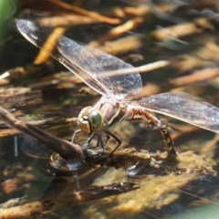 Adversaeschna brevistyla (Blue-spotted Hawker) at Cotter River, ACT - 5 Jan 2017 by KenT