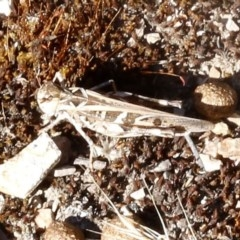 Oedaleus australis (Australian Oedaleus) at Bruce Ridge - 31 Dec 2016 by ibaird