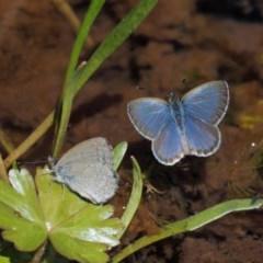 Zizina otis (Common Grass-blue) at Namadgi National Park - 6 Jan 2017 by KenT