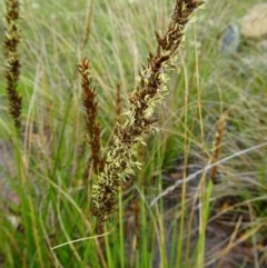 Carex appressa (Tall Sedge) at Sth Tablelands Ecosystem Park - 22 Sep 2016 by galah681