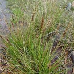 Carex appressa at Sth Tablelands Ecosystem Park - 22 Sep 2016