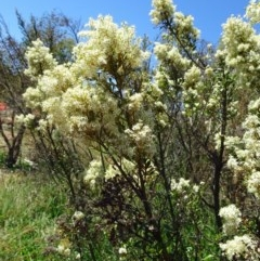 Bursaria spinosa subsp. lasiophylla (Australian Blackthorn) at Sth Tablelands Ecosystem Park - 12 Jan 2017 by galah681