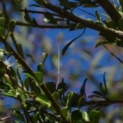 Bursaria spinosa subsp. lasiophylla at Sth Tablelands Ecosystem Park - 12 Jan 2017