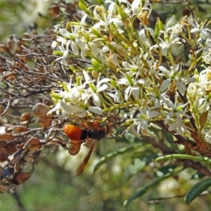 Eumeninae sp. (subfamily) at Sth Tablelands Ecosystem Park - 12 Jan 2017