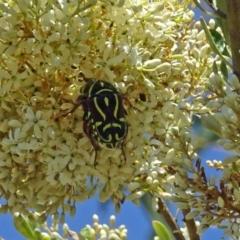 Eupoecila australasiae at Sth Tablelands Ecosystem Park - 12 Jan 2017