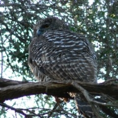 Ninox strenua (Powerful Owl) at ANBG - 23 Jun 2007 by HarveyPerkins