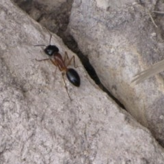 Camponotus nigriceps (Black-headed sugar ant) at Ngunnawal, ACT - 12 Jan 2017 by GeoffRobertson