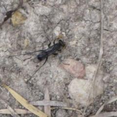 Fabriogenia sp. (genus) (Spider wasp) at Ngunnawal, ACT - 12 Jan 2017 by GeoffRobertson