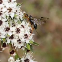 Ichneumonidae sp. (family) (Unidentified ichneumon wasp) at Blue Range - 13 Jan 2017 by ibaird