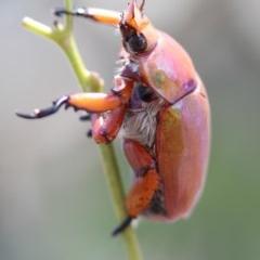 Anoplognathus montanus (Montane Christmas beetle) at Higgins, ACT - 14 Jan 2017 by AlisonMilton