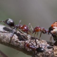 Iridomyrmex purpureus (Meat Ant) at Higgins, ACT - 15 Jan 2017 by Alison Milton