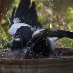 Gymnorhina tibicen (Australian Magpie) at Higgins, ACT - 12 Jan 2017 by Alison Milton