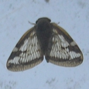 Scolypopa australis at Kambah, ACT - 16 Jan 2017