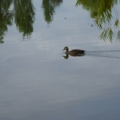 Anas superciliosa (Pacific Black Duck) at Commonwealth & Kings Parks - 8 Jan 2017 by JanetRussell