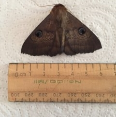 Dasypodia selenophora (Southern old lady moth) at Stirling, ACT - 17 Jan 2017 by Jacquim