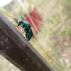 Stilbum cyanurum at Sth Tablelands Ecosystem Park - 26 Feb 2015