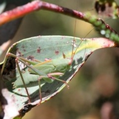 Caedicia sp. (genus) (Katydid) at Namadgi National Park - 15 Jan 2017 by HarveyPerkins