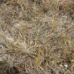 Cullen tenax (Tough scurf-pea) at Mawson Ponds - 19 Jan 2017 by MichaelMulvaney