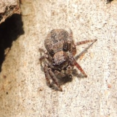 Servaea sp. (genus) (Unidentified Servaea jumping spider) at Conder, ACT - 16 Dec 2016 by michaelb