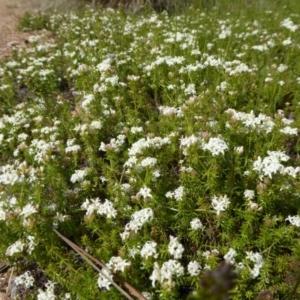 Asperula conferta at Sth Tablelands Ecosystem Park - 13 Oct 2016
