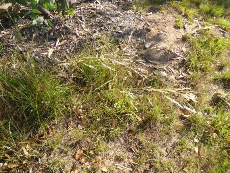 Austrostipa bigeniculata at Sth Tablelands Ecosystem Park - 3 Jan 2017