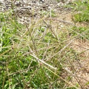 Chloris truncata at Sth Tablelands Ecosystem Park - 3 Jan 2017
