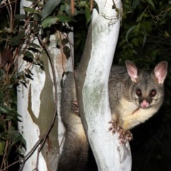 Trichosurus vulpecula (Common Brushtail Possum) at Higgins, ACT - 7 May 2015 by Alison Milton