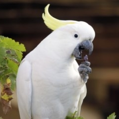 Cacatua galerita (Sulphur-crested Cockatoo) at Higgins, ACT - 19 Mar 2016 by Alison Milton