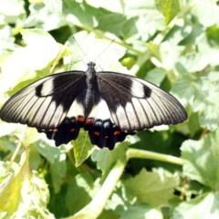 Papilio aegeus (Orchard Swallowtail) at Higgins, ACT - 30 Jan 2016 by Alison Milton