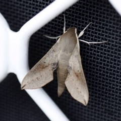 Hippotion scrofa (Coprosma Hawk Moth) at Higgins, ACT - 1 Nov 2013 by Alison Milton