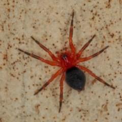 Nicodamidae sp. (family) (Red and Black Spider) at Mulligans Flat - 22 Jan 2017 by CedricBear